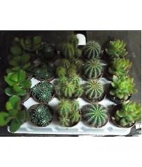 20 piante grasse in vaso cm 5,5 in varieta' mix