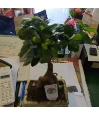 Bonsai d FICUS GINSENG in vaso cm. 14h pianta 30cm