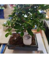 Bonsai di Carmona in vaso cm. 14h pianta 24 cm