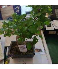 Bonsai di LIGUSTRO in vaso cm. 14h pianta 24 cm