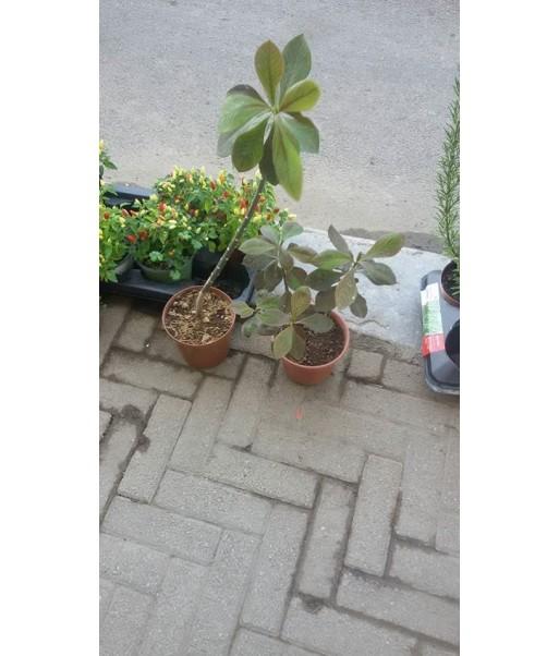 Pianta di synadenium grantii in vaso h 50cm for Pianta nocciolo prezzo